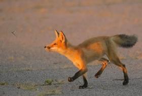 难得一见----海滩狐狸