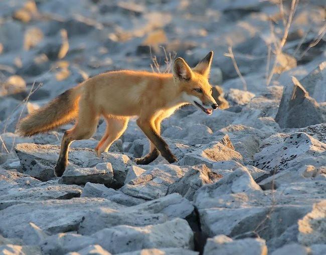 难得一见----海滩狐狸_图1-8