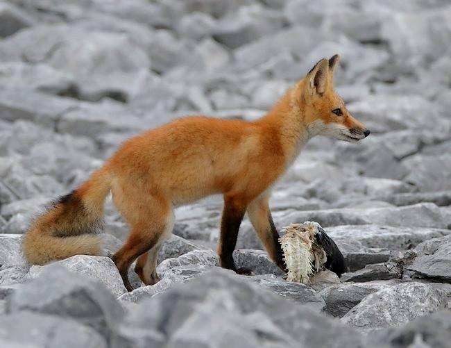 难得一见----海滩狐狸_图1-9