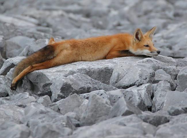 难得一见----海滩狐狸_图1-11