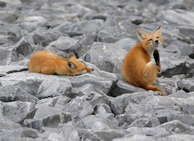 难得一见----海滩狐狸_图1-12