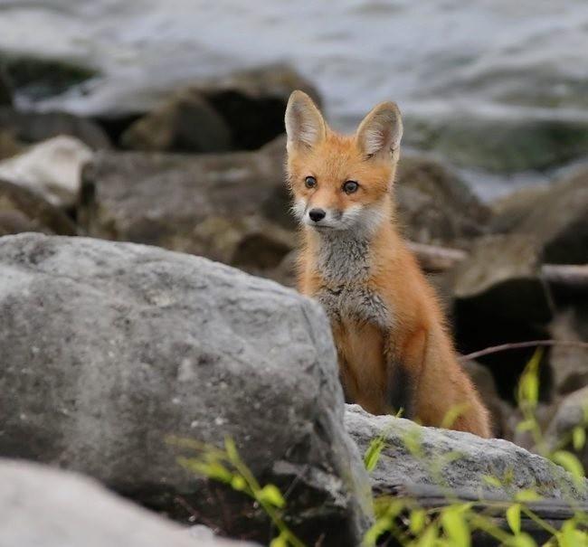 难得一见----海滩狐狸_图1-18