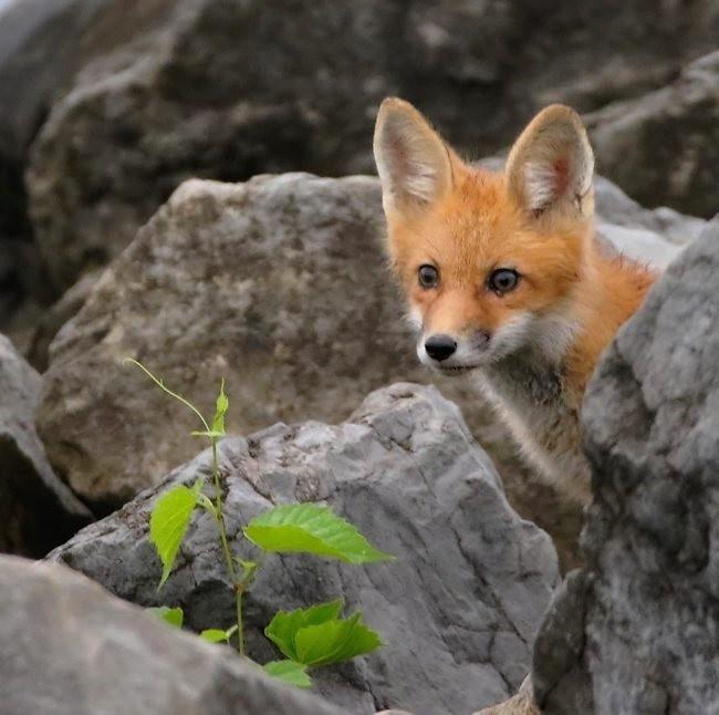 难得一见----海滩狐狸_图1-19