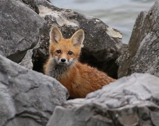 难得一见----海滩狐狸_图1-20
