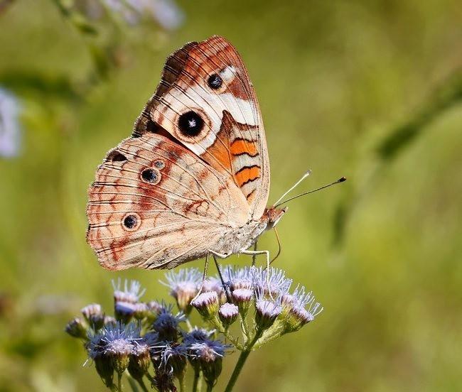 蝴蝶 蜻蜒 蜜蜂_图1-12