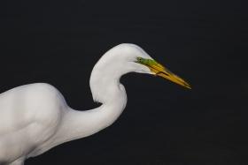 近距离拍大白鹭捕食