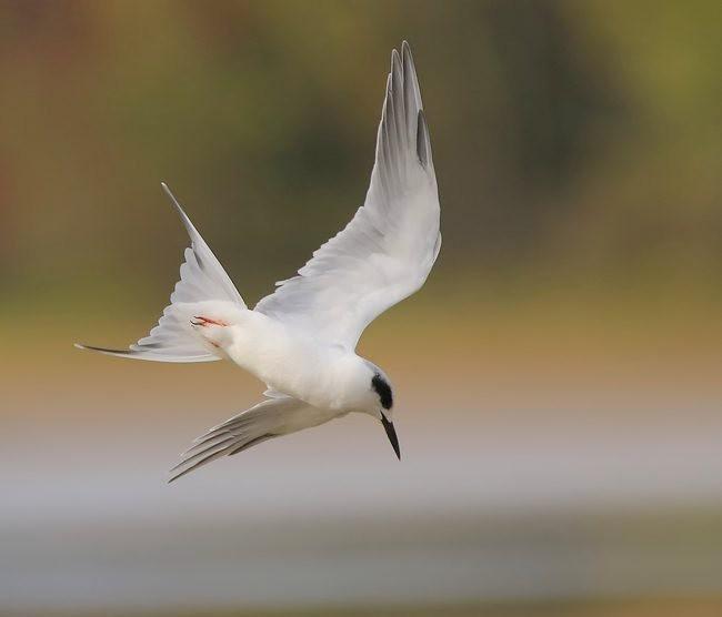 湿地燕鸥_图1-1