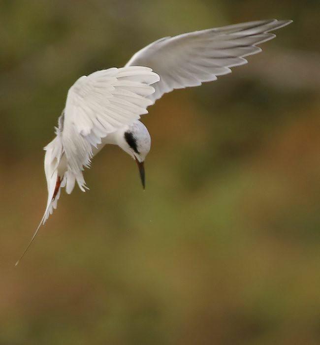 湿地燕鸥_图1-2