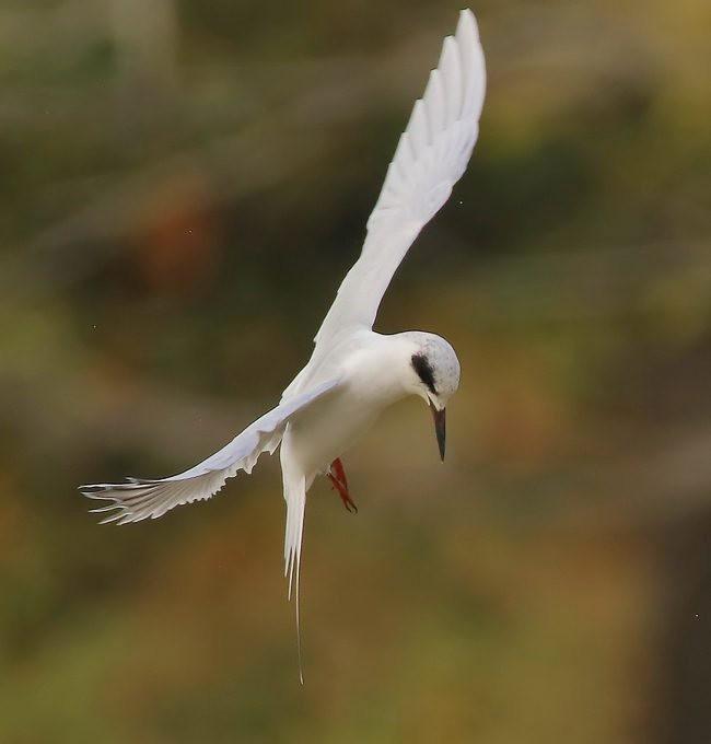 湿地燕鸥_图1-3