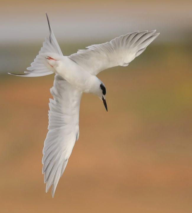 湿地燕鸥_图1-4