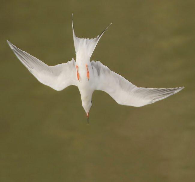 湿地燕鸥_图1-5