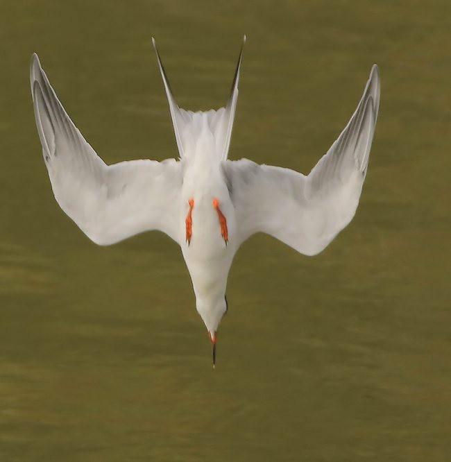 湿地燕鸥_图1-6
