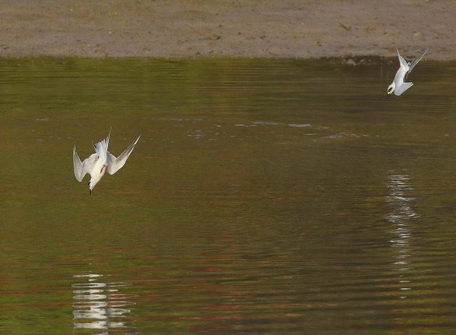 湿地燕鸥_图1-7