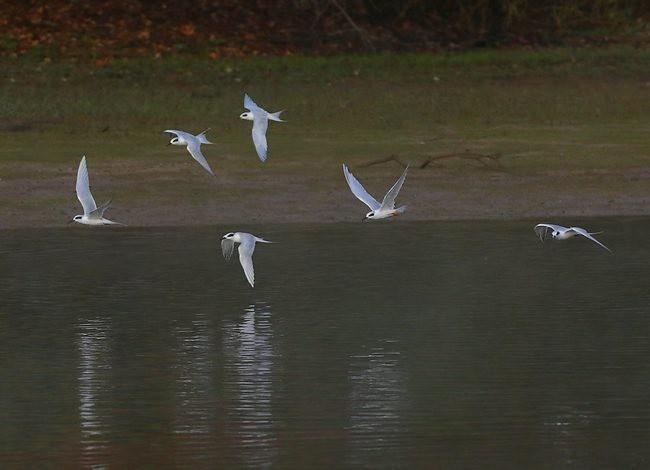 湿地燕鸥_图1-8