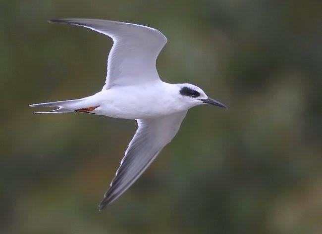 湿地燕鸥_图1-9