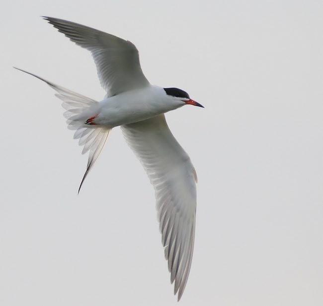 湿地燕鸥_图1-10