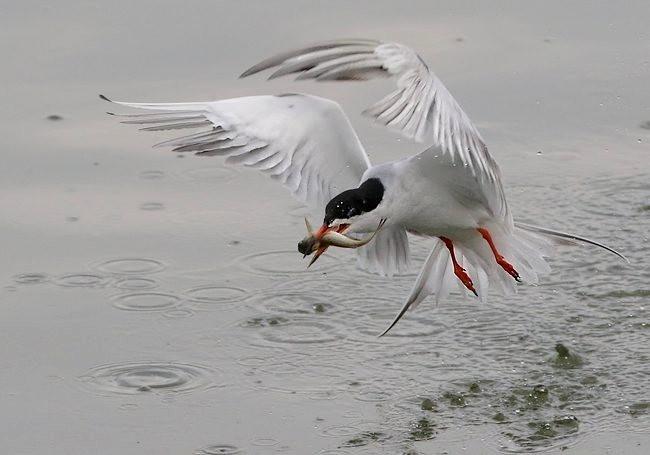 湿地燕鸥_图1-11
