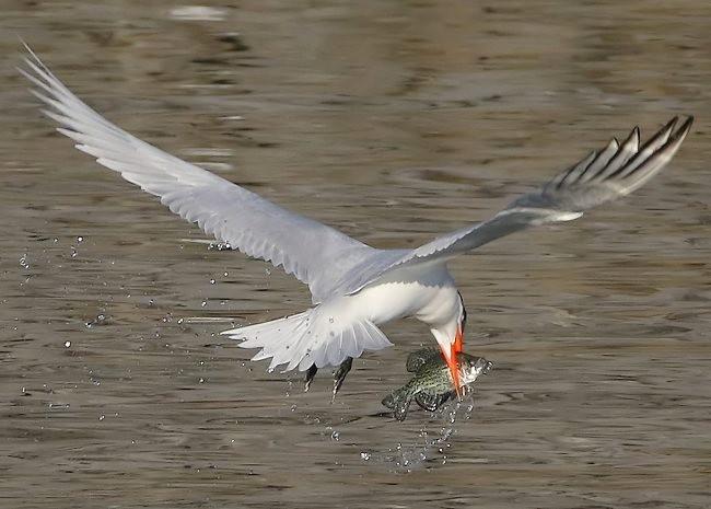 湿地燕鸥_图1-12