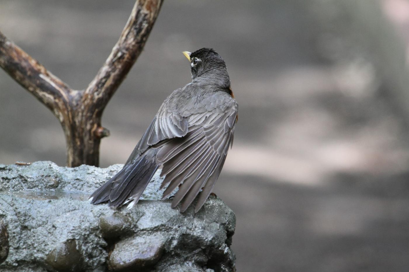 【田螺摄影】抓拍知更鸟淋浴_图1-22