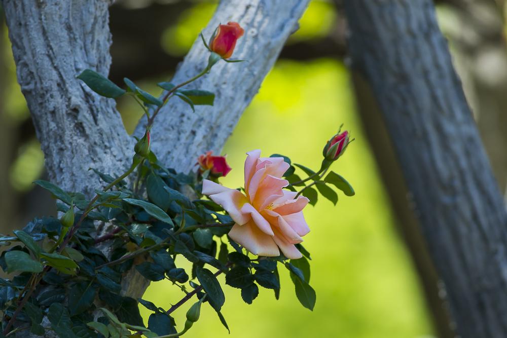 玫瑰之约_图1-3