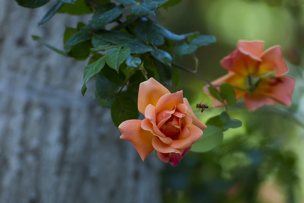 玫瑰之约_图1-5