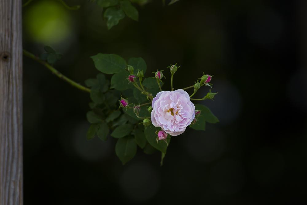 玫瑰之约_图1-1