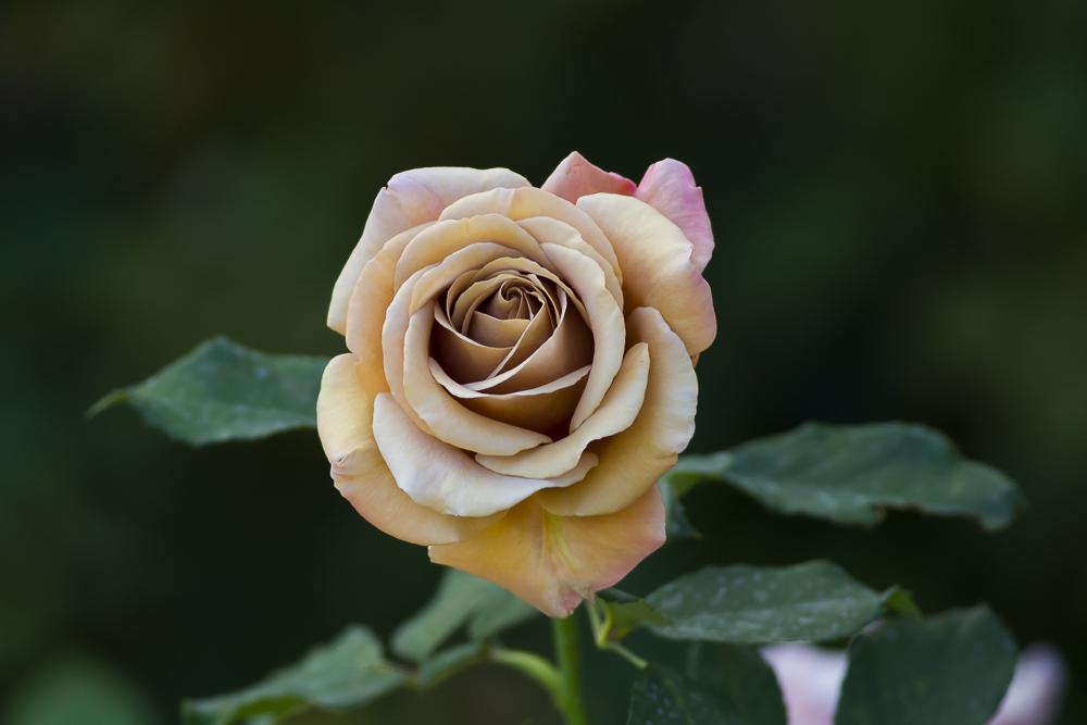 玫瑰之约_图1-9