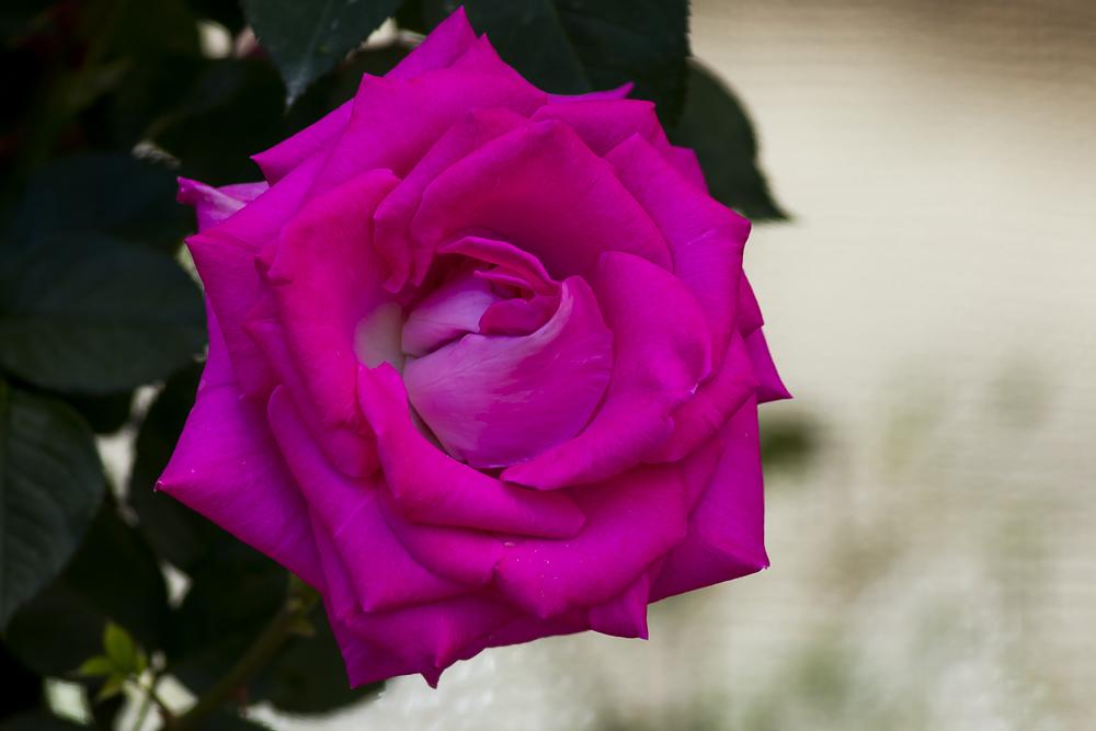 玫瑰之约_图1-10