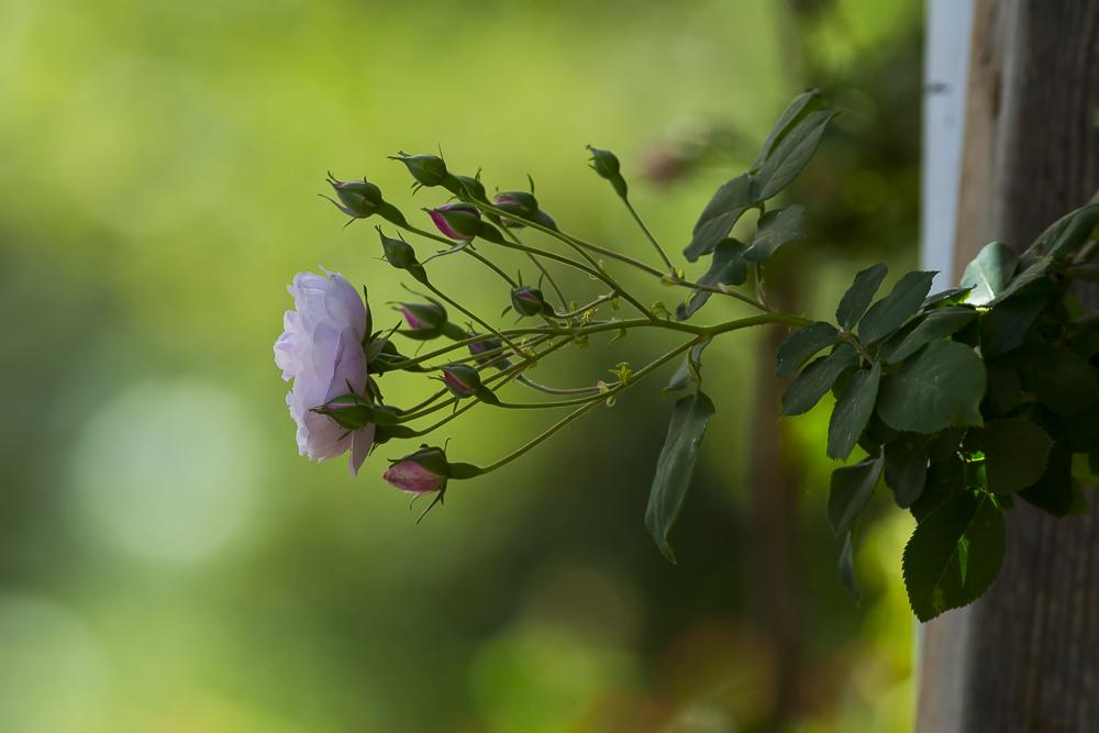 玫瑰之约_图1-12