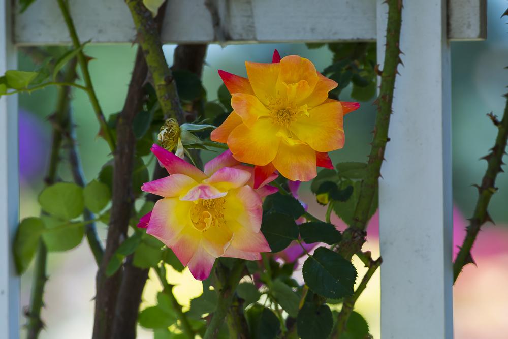 玫瑰之约_图1-14