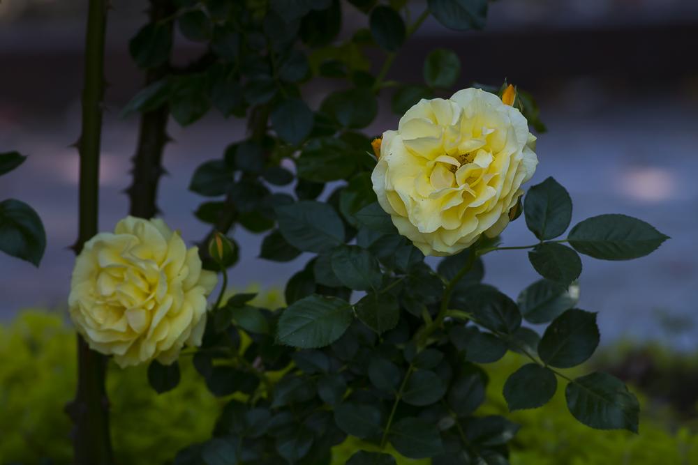 玫瑰之约_图1-13