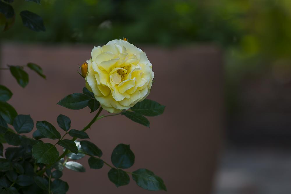 玫瑰之约_图1-15