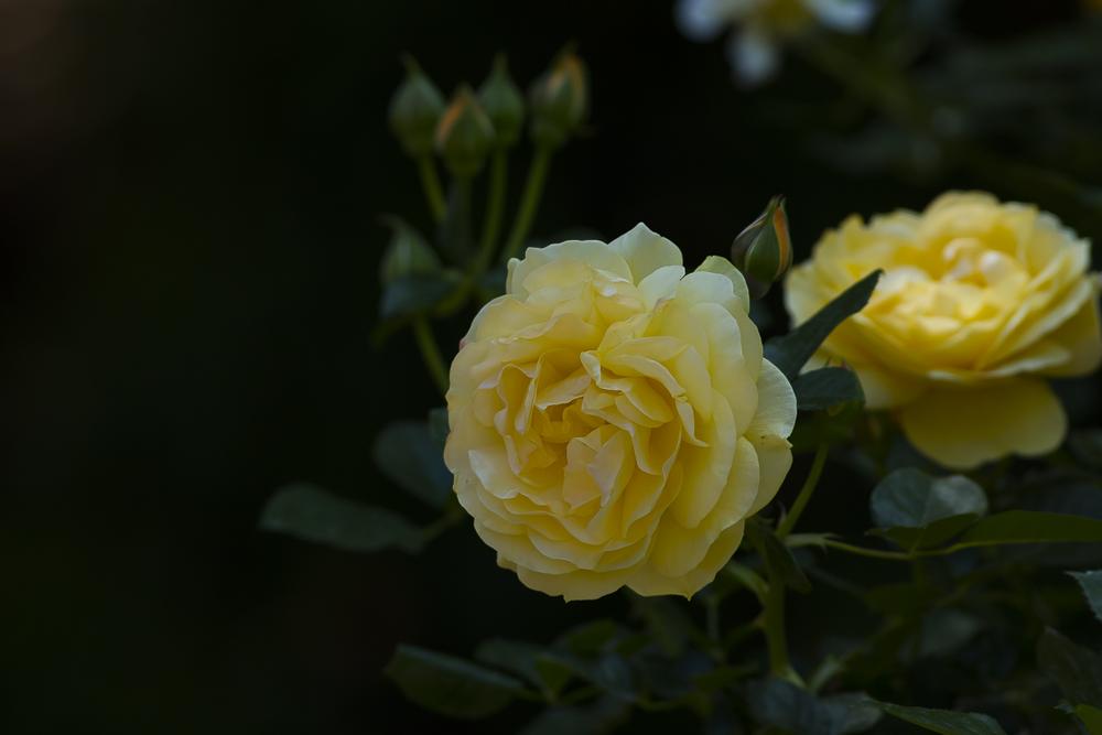 玫瑰之约_图1-16