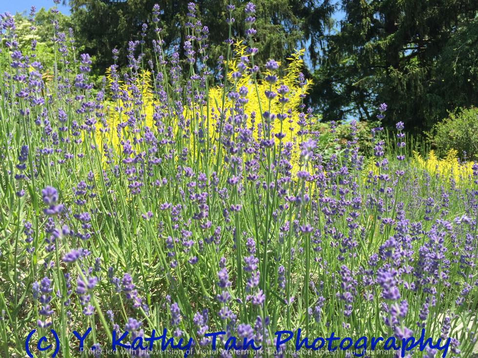 夏游Planting Field Arboretum_图1-9