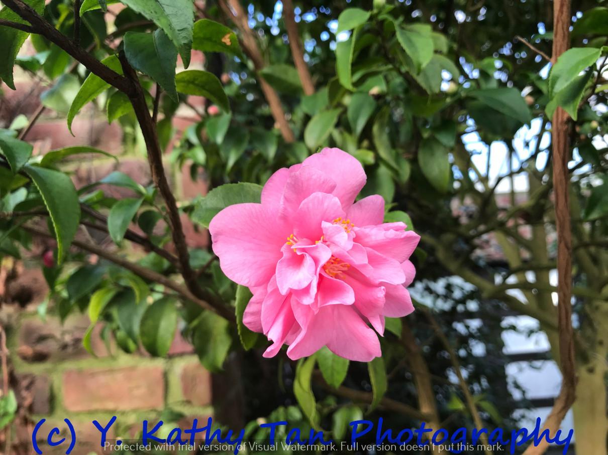 Planting Field Arboretum 的茶花盛宴_图1-1