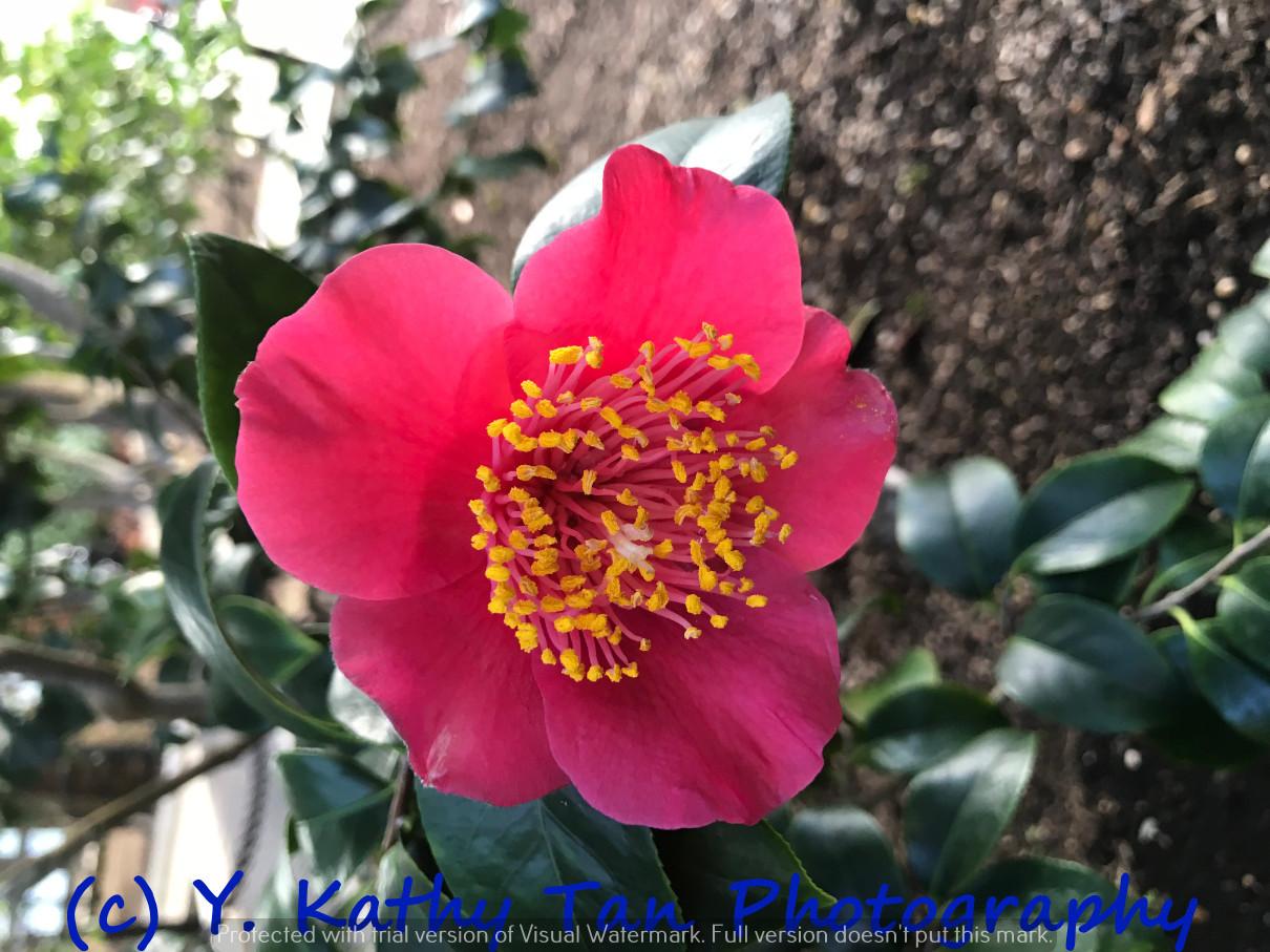 Planting Field Arboretum 的茶花盛宴_图1-4