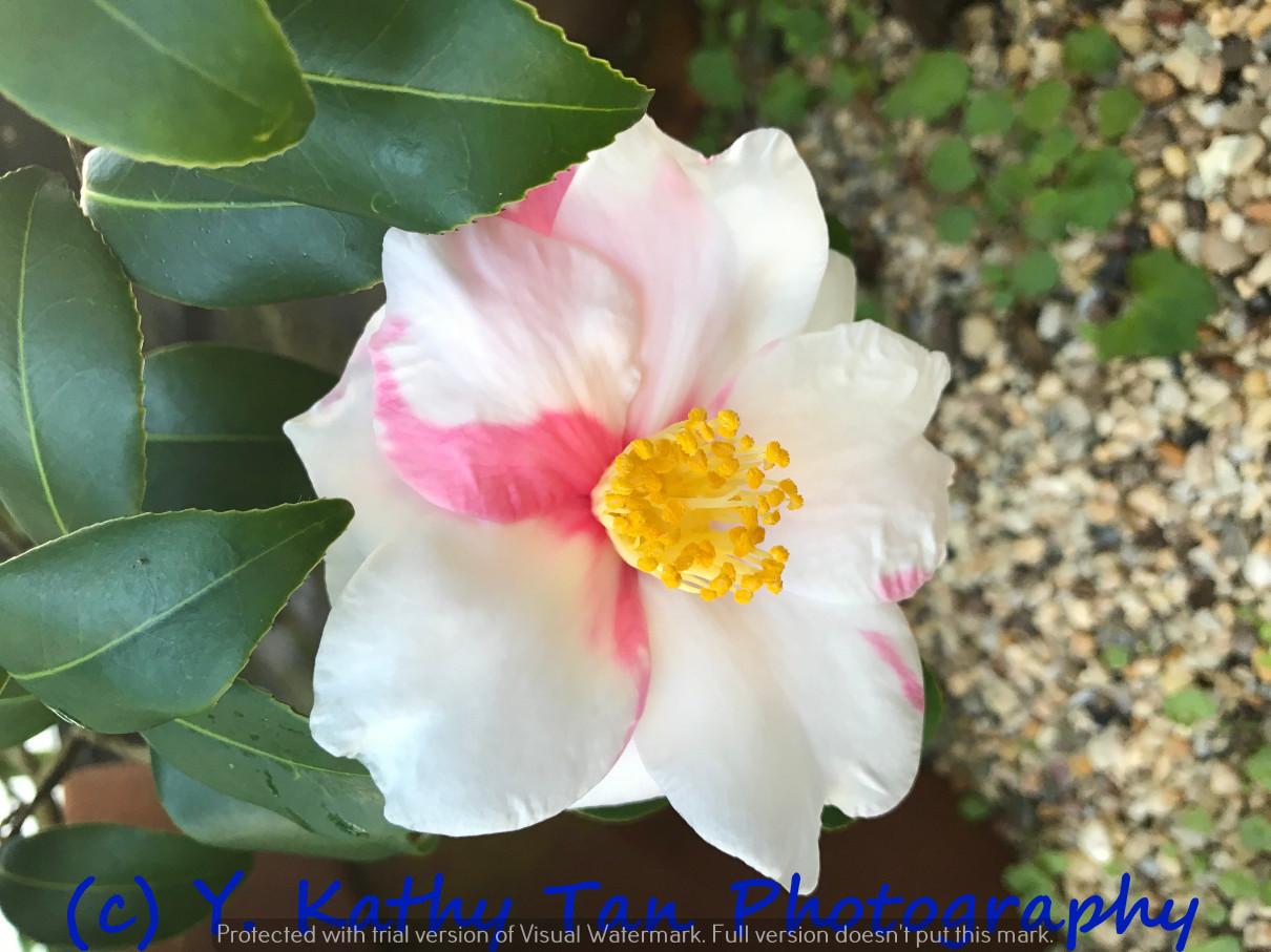 Planting Field Arboretum 的茶花盛宴_图1-5
