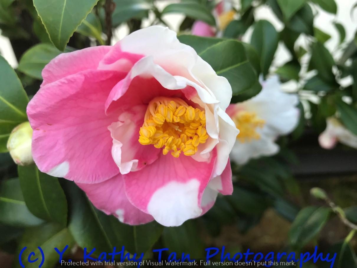 Planting Field Arboretum 的茶花盛宴_图1-6