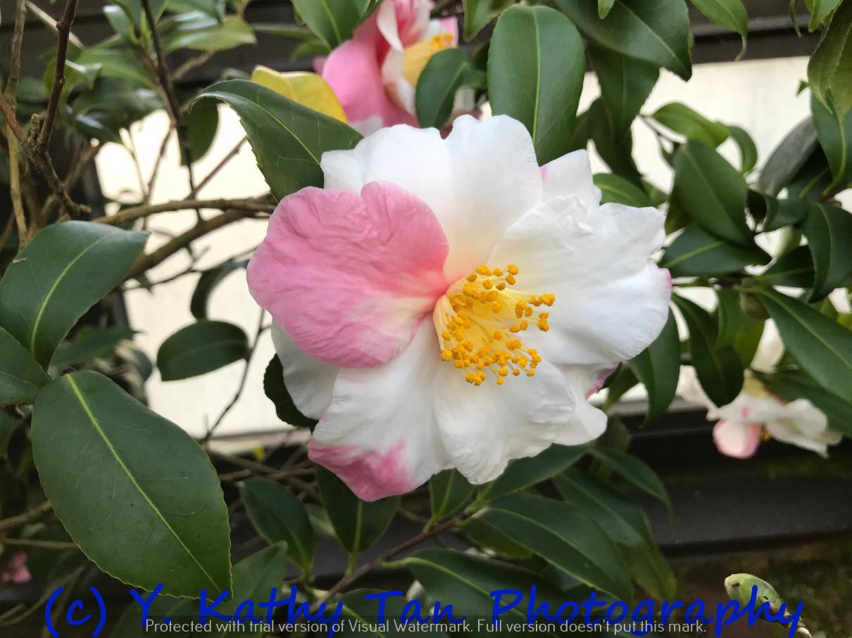 Planting Field Arboretum 的茶花盛宴_图1-7