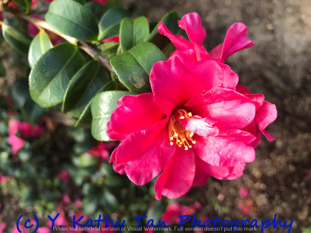Planting Field Arboretum 的茶花盛宴_图1-9