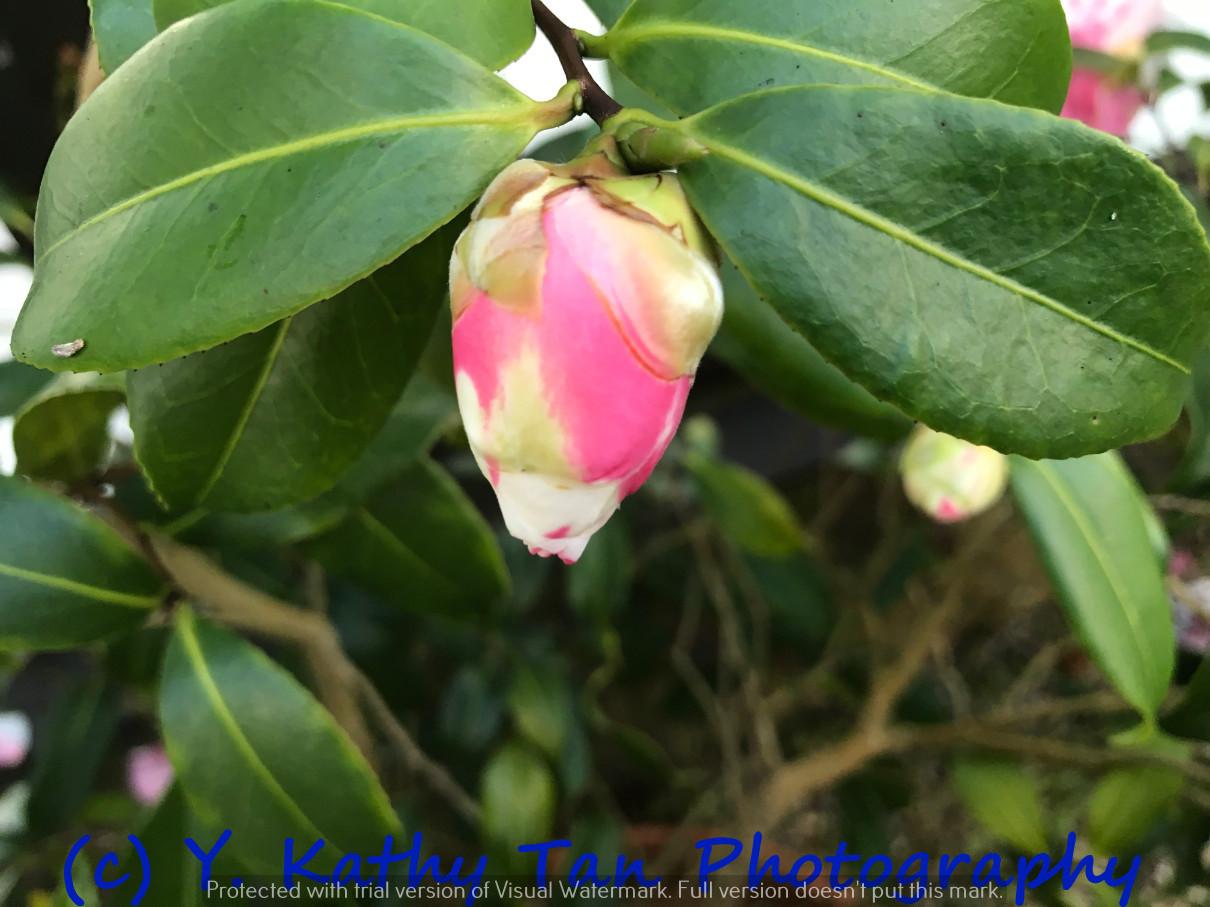 Planting Field Arboretum 的茶花盛宴_图1-8