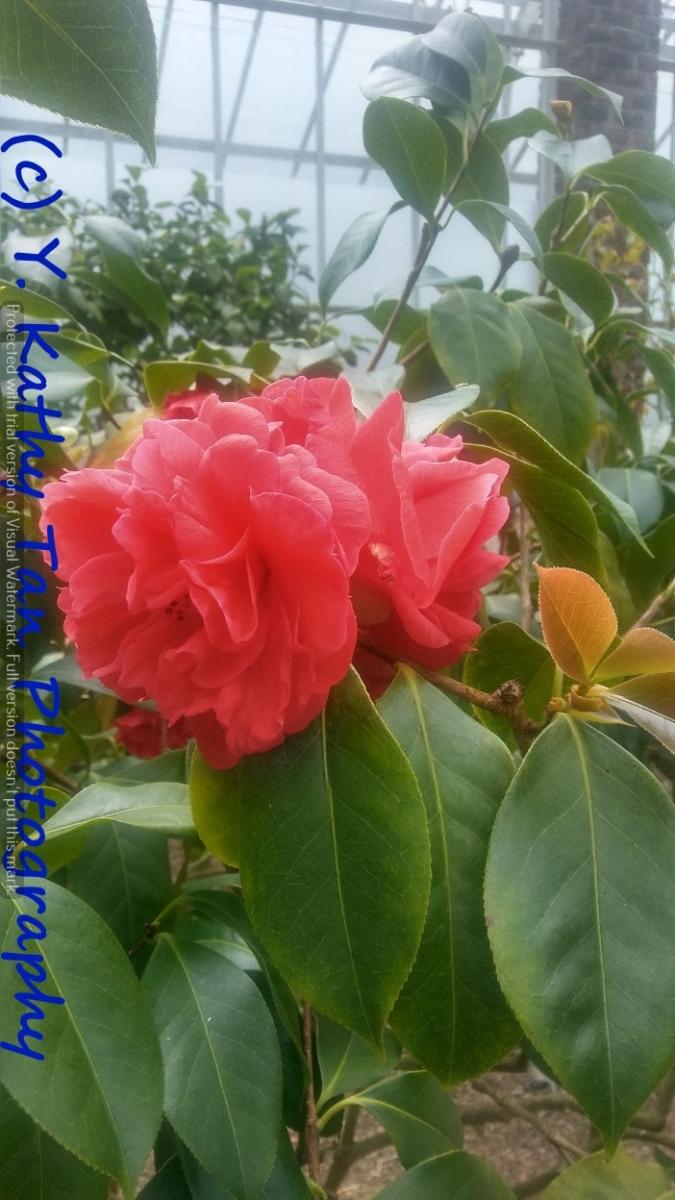 Planting Field Arboretum 的茶花盛宴_图1-12