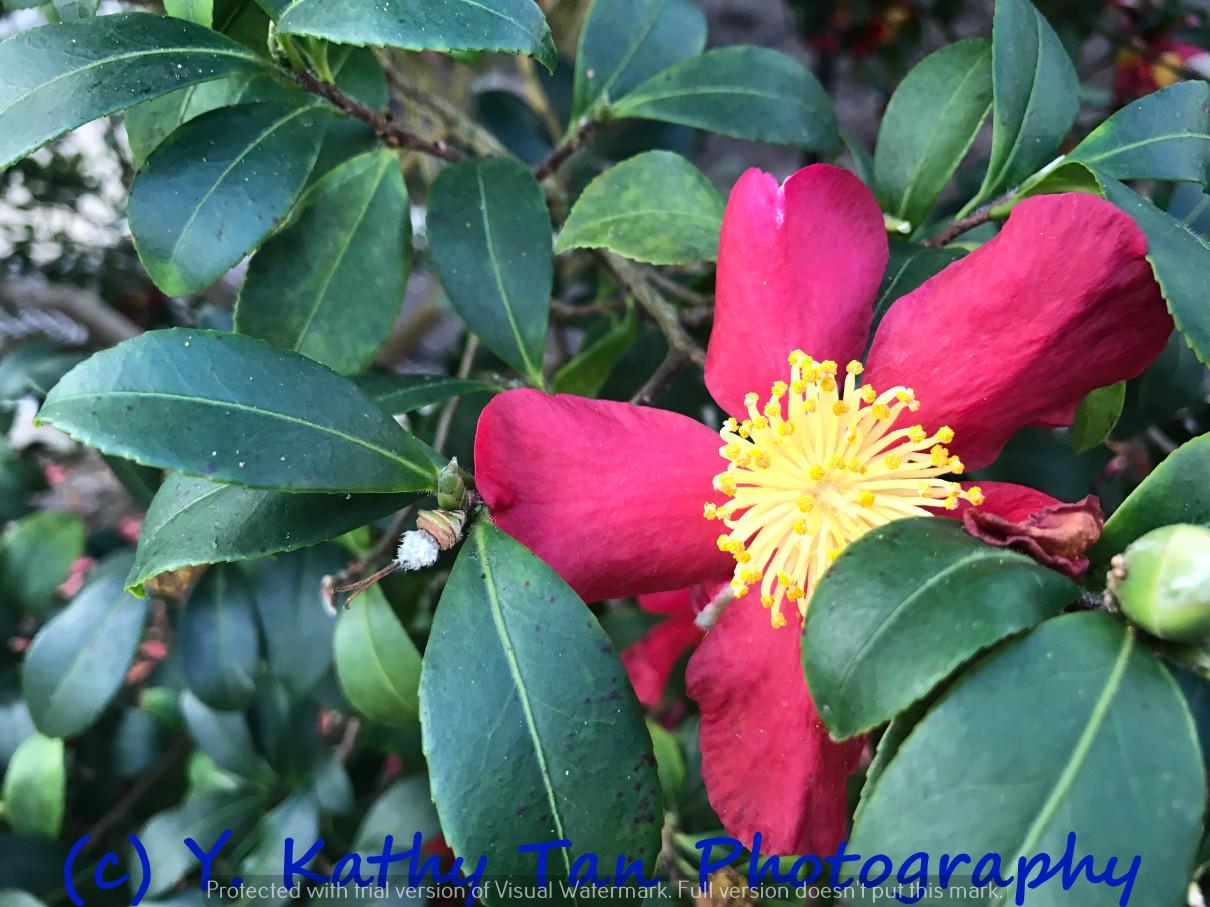Planting Field Arboretum 的茶花盛宴_图1-10