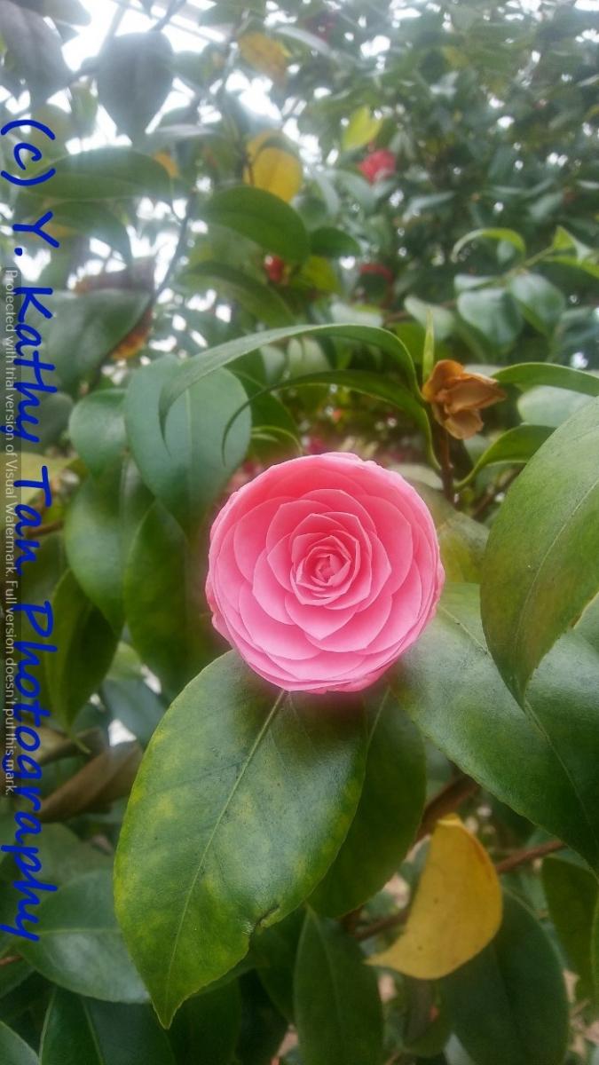 Planting Field Arboretum 的茶花盛宴_图1-13
