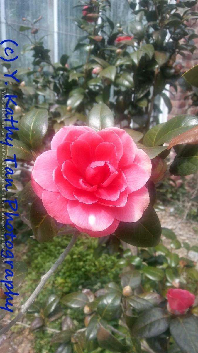 Planting Field Arboretum 的茶花盛宴_图1-11