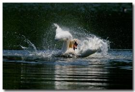 《酒一船摄影》:又见天鹅狂舞