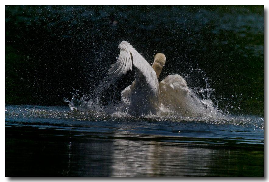 《酒一船摄影》:又见天鹅狂舞_图1-3