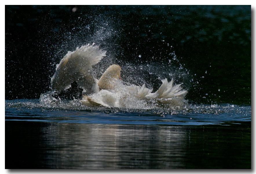 《酒一船摄影》:又见天鹅狂舞_图1-10