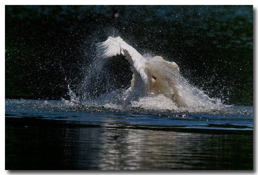 《酒一船摄影》:又见天鹅狂舞_图1-12