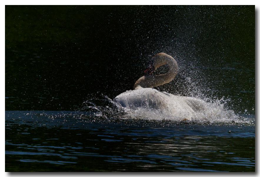 《酒一船摄影》:又见天鹅狂舞_图1-15